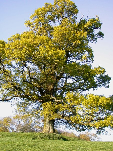 An English Oak Tree