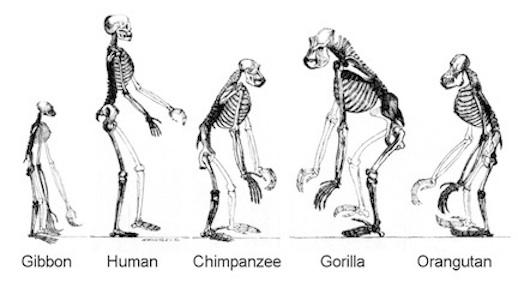 Ape Skeletons Copy1
