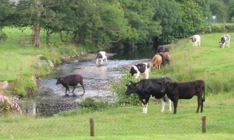 Cows 003